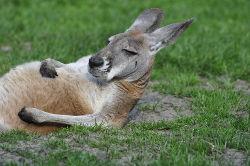 kangourou_détendu1