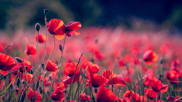 poppies-3374193_72
